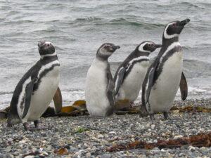 Navegación Canal Beagle & Isla Martillo (Pingüinera)